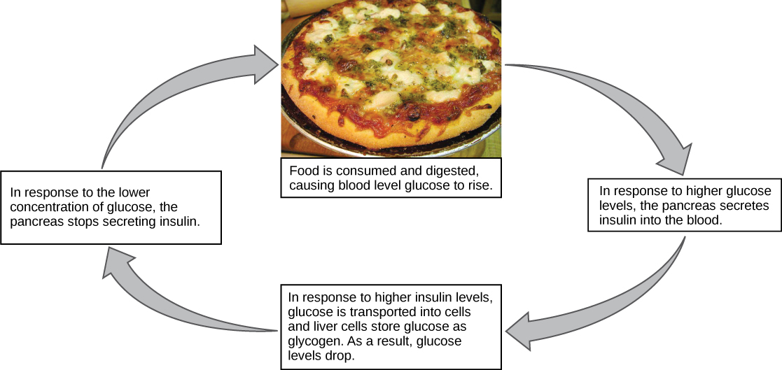 Blood Glucose Negative Feedback Loop