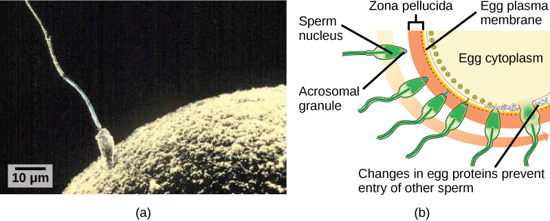 Part A is a micrograph that shows a sperm whose head is touching the surface of an egg. The egg is much larger than the sperm. Part B is an illustration that shows the surface of the egg, which is coated with a zona pellucida. The sperm penetrates the zona pellucida and releases its DNA into the egg. At this point, changes in proteins just inside the egg's cell membrane occur, preventing entry of other sperm.