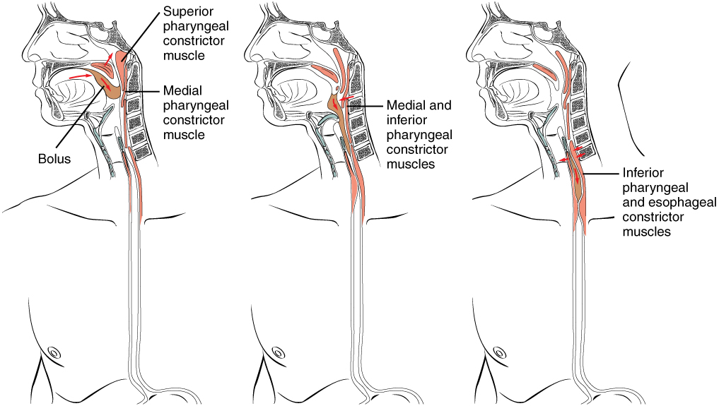 The Mouth, Pharynx, and Esophagus - Human Physiology - OpenStax CNX