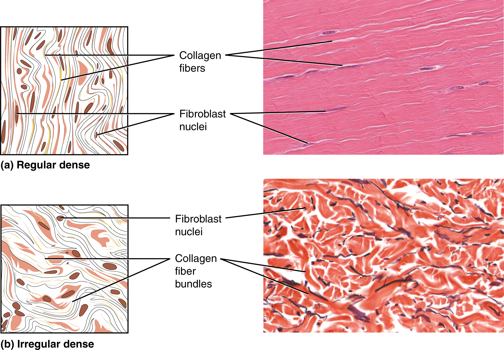 43 Connective Tissue Sanzin Anatomy Honors 260751a 3a S1