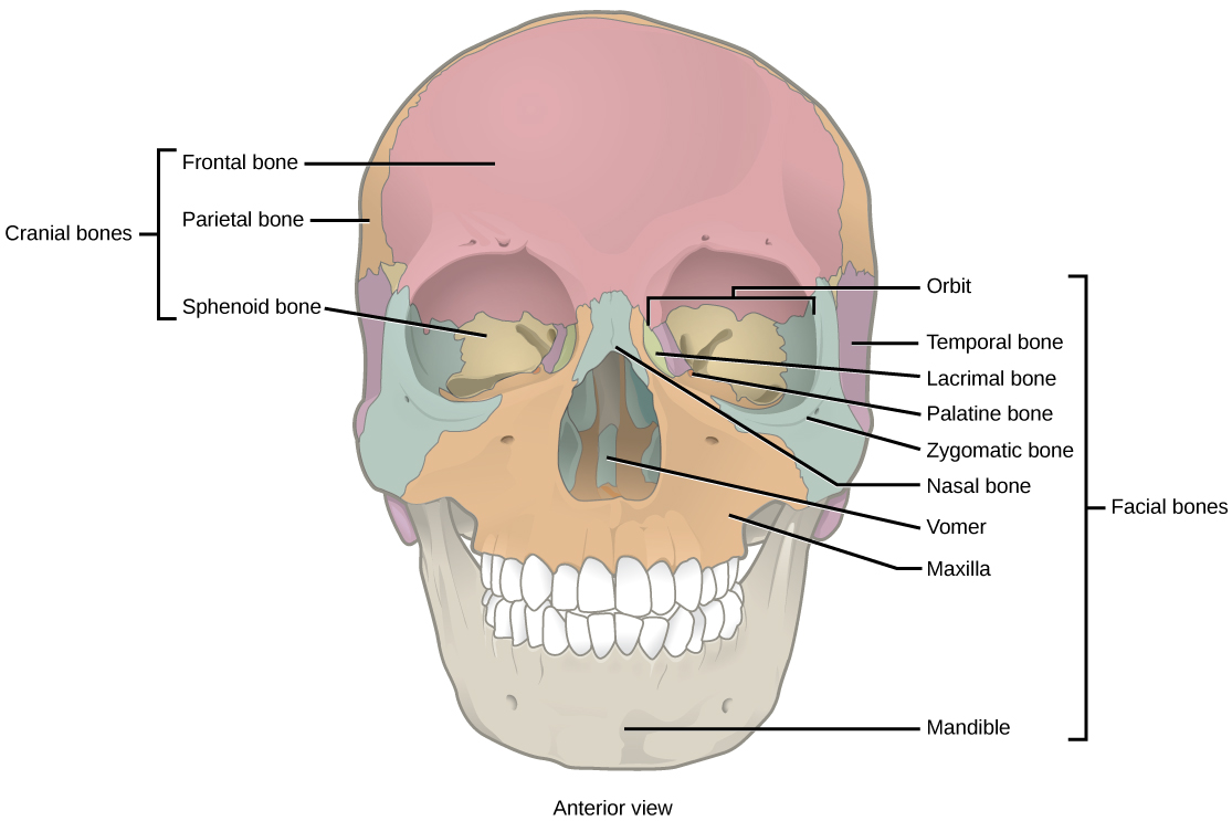 Illustration shows a front-end view of a skull. The frontal bone is the prominent bone that makes up most of the top of the skull. The parietal bone sphenoid bones make up the side of the skull. Two nasal bones make up the bridge of the nose. The zygomatic bone is the cheek bone. The vomer is a single bone in the middle of the nose. The maxilla makes up the upper jaw, and the mandible is the lower jaw. The lacrimal is a bone on the inner center of they eye. The nasal conchae are bones inside the nose.