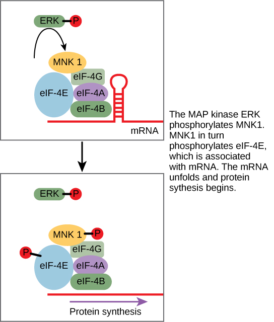 This illustration shows the pathway by which ERK, a MAP kinase, activates protein synthesis. Phosphorylated ERK phosphorylates MNK1, which in turn phosphorylates eIF-4E, which is associated with mRNA. When eIF-4E is phosphorylated, the mRNA unfolds and protein synthesis begins.