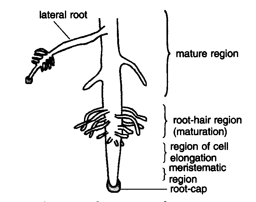 this diagram shows the external structure of a dicot root