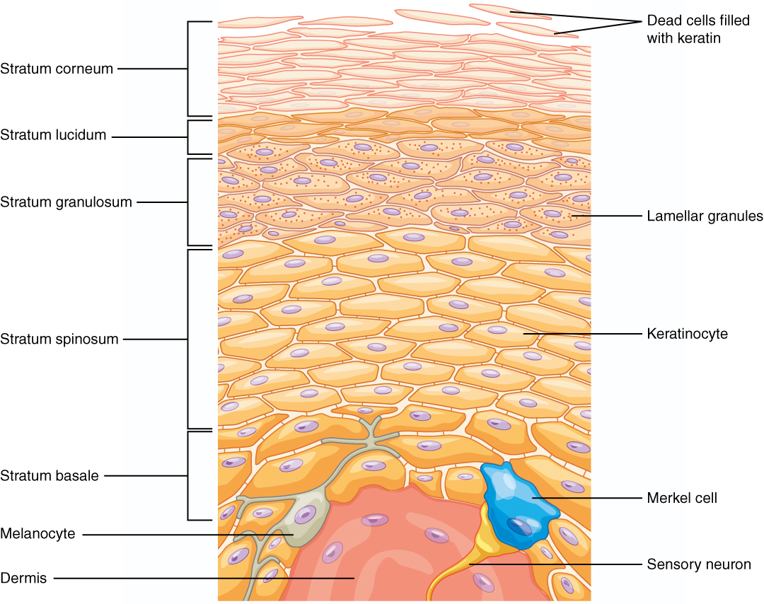This illustration shows a cross section of the epidermis. The cells of the innermost layer, the stratum basale, are large and have a purple nucleus. The stratum basale curls around the dermis, which projects into the epidermis. The stratum basale contains four layers of large, triangle-shaped keratinocytes. Fibers are visible within the spaces between keratinocytes in the stratum basale. A melanocyte is also present in this layer. The melanocyte possesses finger-like projections extending from its main cell body. The projections branch through the extracellular spaces between nearby keratinocytes. Above the stratum basale is the stratum spinosum which consists of 8 layers of oval-shaped keratinocytes. The nucleus is present in these keratinocytes, but has faded to a lighter purple. The stratum granulosum contains five layers of keratinocytes, each containing spots in its cytoplasm, labeled the lamellar granules. The stratum lucidium contains 4 layers of diamond-shaped cells with no nucleus. The stratum corneum contains 9 layers of keratinocytes with no nucleus , nor cytoplasm. A few of the cells in the topmost layer of the stratum corneum are flaking off from the skin.