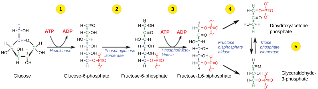 The first half of glycolysis...