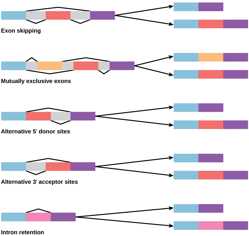 Diagram shows five methods of alternative splicing of pre-mRNA. When exon skipping occurs, an exon is spliced out in one mature mRNA product and retained in another. When mutually exclusive exons are present in the pre-mRNA, only one is retained in the mature mRNA. When an alternative 5' donor site is present, the location of the 5' splice site is variable. When an alternative 3' acceptor site is present, the location of the 3' splice site is variable. Intron retention results in an intron being retained in one mature mRNA and spliced out in another.