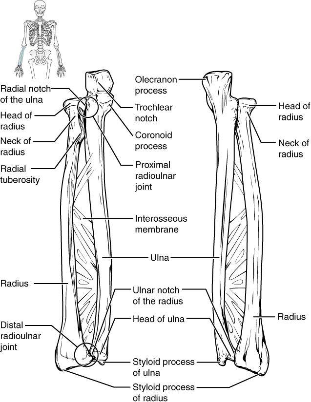 E-Book 02 - Bones of the Upper Limb: Ulna