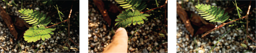 A series of three photos shows the leaves of a mimosa pudica plant. The long, oval compound leaves are arranged opposite on a small stem. In the first photo the leaves are horizontally oriented and open. In the second photo a finger is gently touching one of the compound leaves. In the third photo the leaves on the stem that was touched are tightly folded.