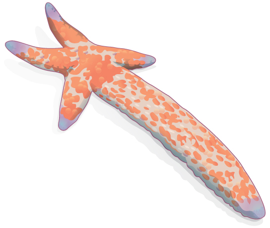 Sea stars can reproduce through fragmentation. The large arm, a fragment from another sea star, is developing into a new individua
