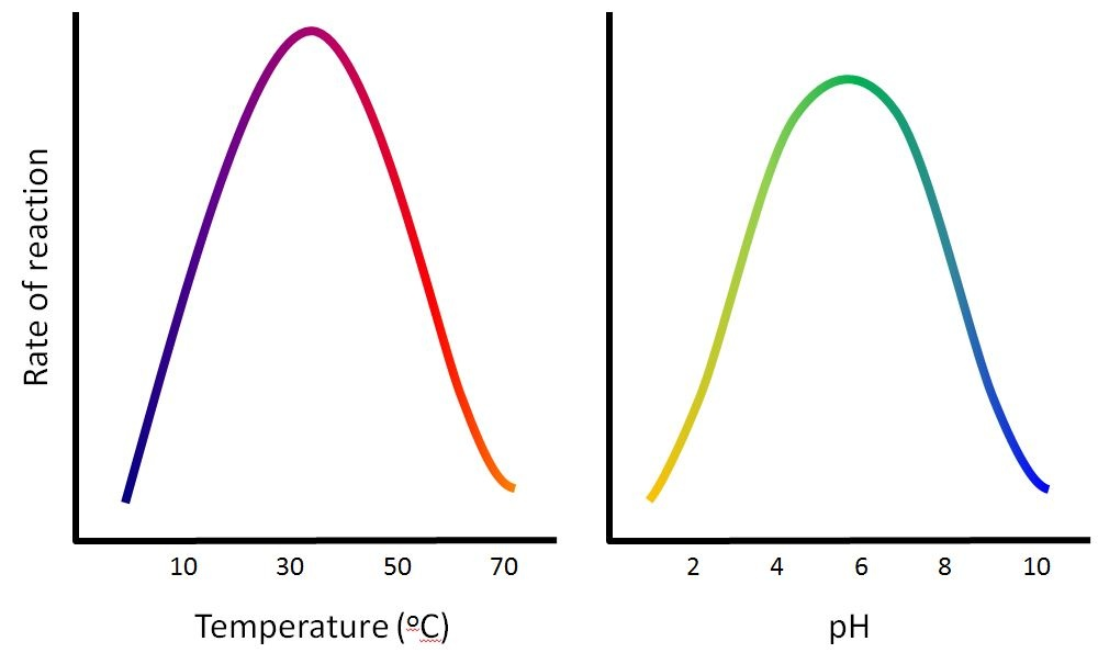 the effects of temperature and ph Effect of ph on catalase activity tommie s hata room temperature was recorded effect of ph on enzyme reaction rate 0.