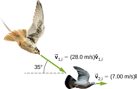 A hawk is flying toward a dove. The hawk is moving in a direction that is 35 degrees down from the horizontal at v 1 i = 28.0 meters per second v 1 i hat. The dove is moving to the right at 7.00 meters per second i hat.