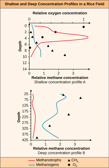 A figure of two graphs labeled Shallow and Deep Concentration Profiles in a Rice Field. The graph on the left, labeled Shallow concentration profile A, is showing the relationship between depth, relative methane concentration and relative oxygen concentration. The Y Axis is labeled Depth. The bottom X axis is labeled Relative methane concentration. The top X axis is labeled Relative oxygen concentration. The right graph, labeled Deep concentration profile B, is showing the relationship between depth and relative methane concentration. The Y axis is labeled Depth. The X axis is labeled Relative methane concentration. A key at the bottom labels the red line as Methanotrophs. The blue line labeled Methanogens. The triangle is labeled C H 4 and the circle is labeled O 2.