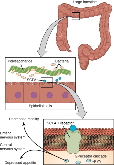 A diagram of the large intestines. The top left of the figure shows the large intestine. The top right shows a magnified segment of large intestine. The segment labels the polysaccharides, bacteria and epithelial cells. The bottom right of the figure shows an increased magnification of the segment. Labeled inside the cells are the SCFA positive receptors, PYY, and G receptor cascade. Arrows going outside the cells are labeled Decreased motility, Enteric nervous system, Central nervous system.