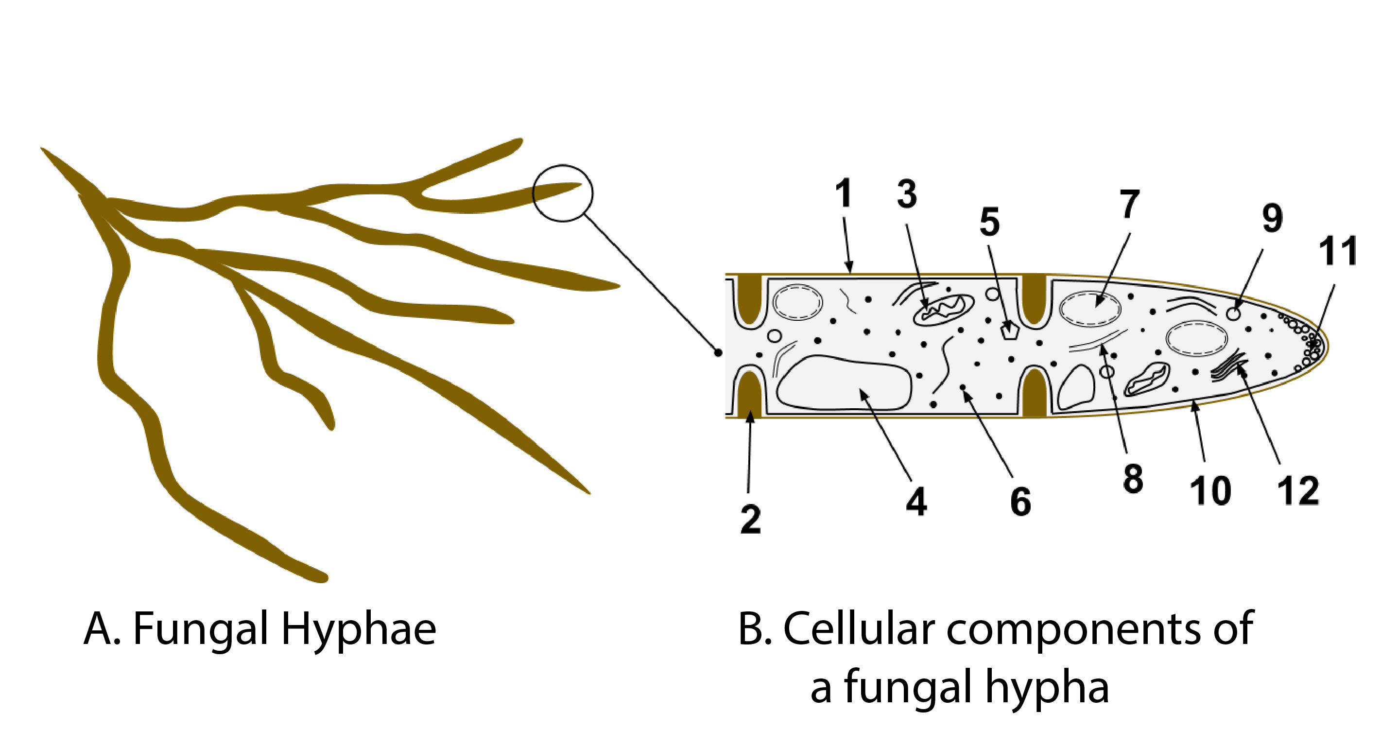 Hyphae Diagram Related Keywords & Suggestions - Hyphae Diagram Long ...