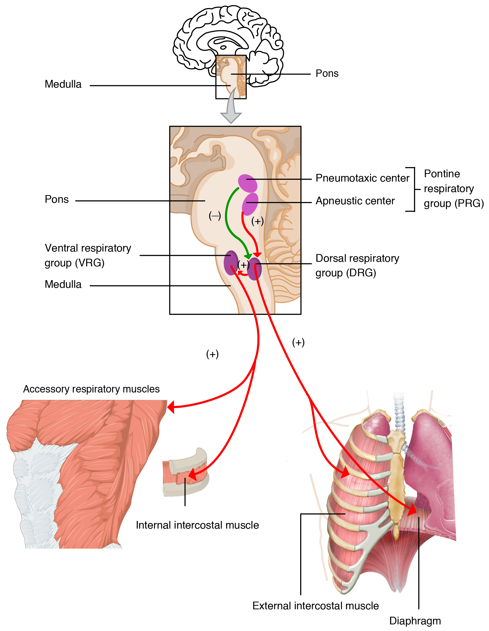 The Process Of Breathing