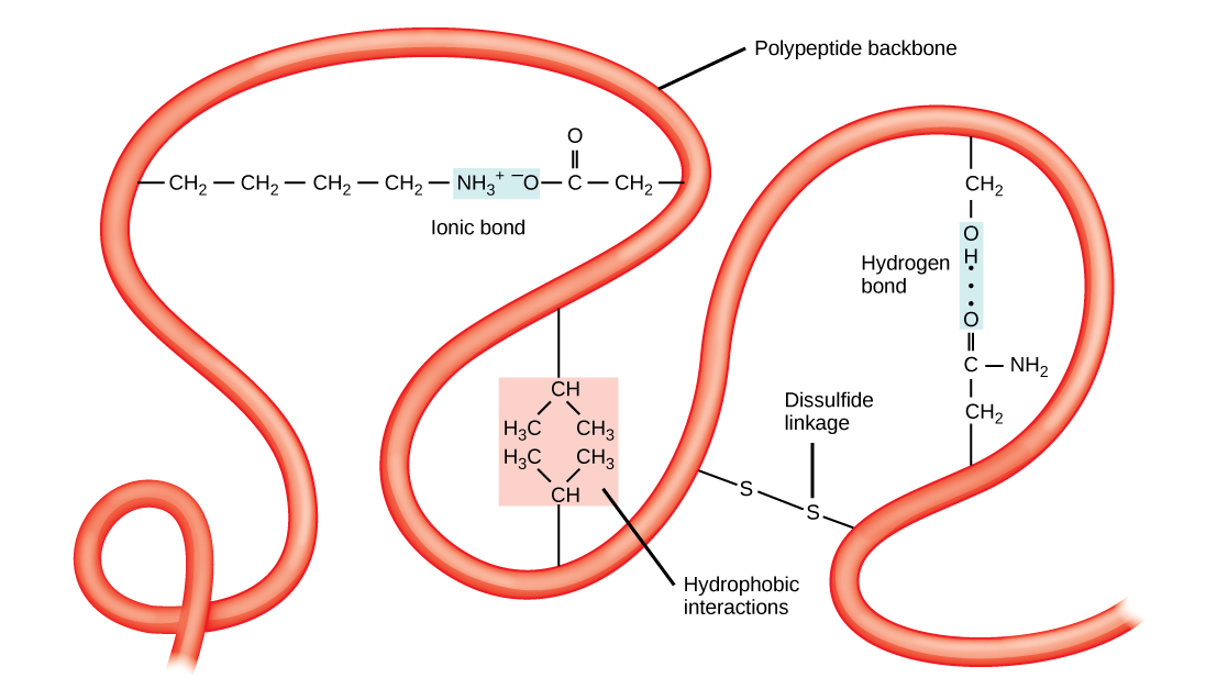 This illustration shows a polypeptide backbone folded into a three-dimensional structure. Chemical interactions between amino acid side chains maintain its shape. These include an ionic bond between an amino group and a carboxyl group, hydrophobic interactions between two hydrophobic side chains, a hydrogen bond between a hydroxyl group and a carbonyl group, and a disulfide linkage.