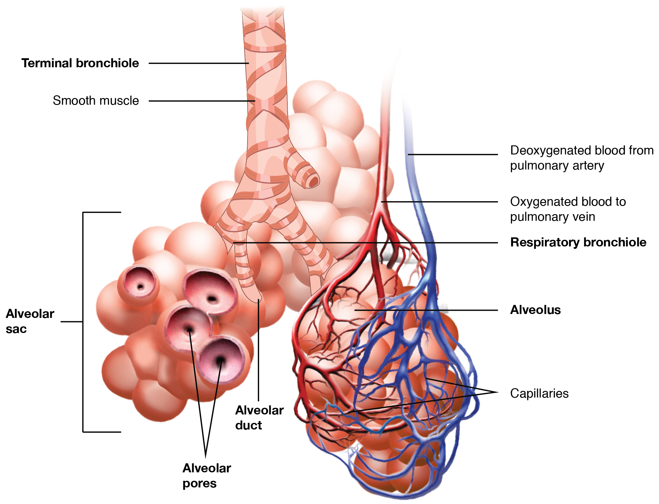 Organs And Structures Of The Respiratory System Human Physiology