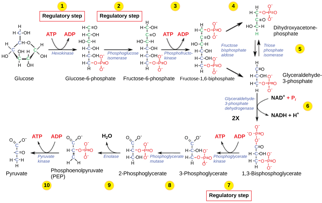 This illustration shows that glycolysis is regulated via three key enzymes: hexokinase phosphofructokinase, and phosphoglycerate kinase. The first two enzymes hydrolyze an ATP and the third one produces ATP.
