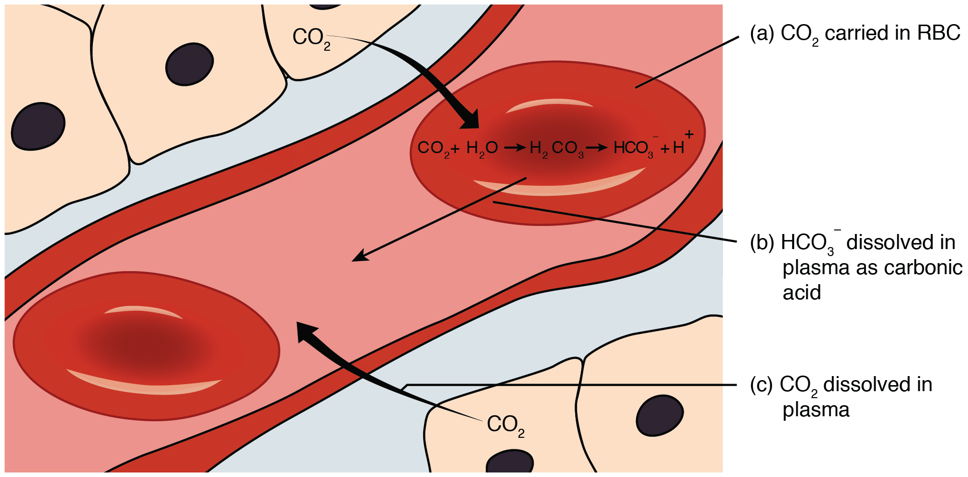 Transport of gases this figure shows how carbon dioxide is transported from the tissue to the red blood cell pooptronica Gallery
