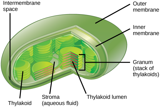 This Illustration Shows A Chloroplast Which Has An Outer Membrane And Inner