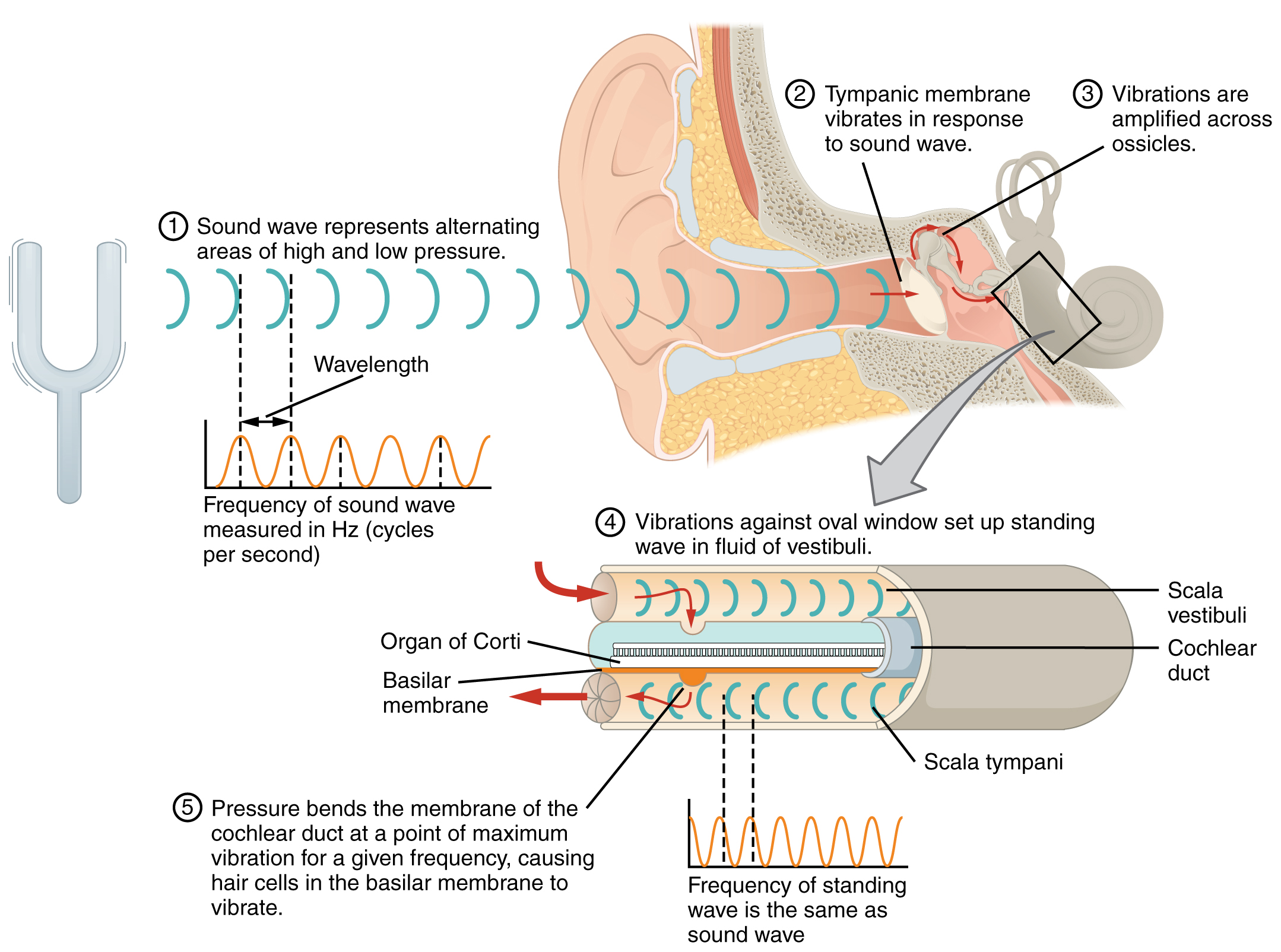 Special Senses – Anatomy of the Ear | OER Commons