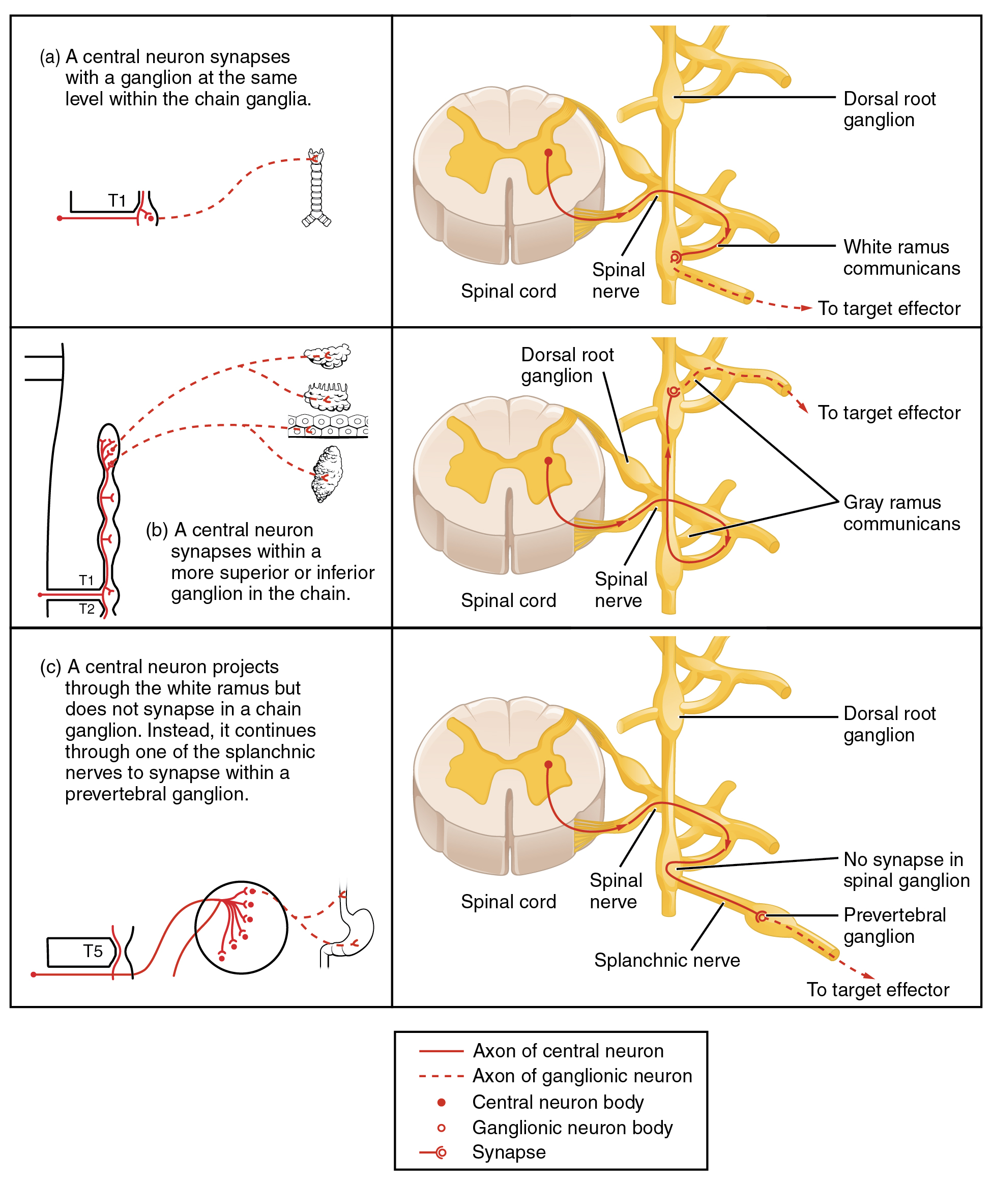 This table shows the connections between the spinal cord and the ganglia. The top panel shows the connection between a central neuron and a chain ganglion at the same lever. The center panel shows the connection between a central neuron and a synapse with a superior or inferior ganglion. The bottom panel shows the projection of a central neuron into the white ramus.