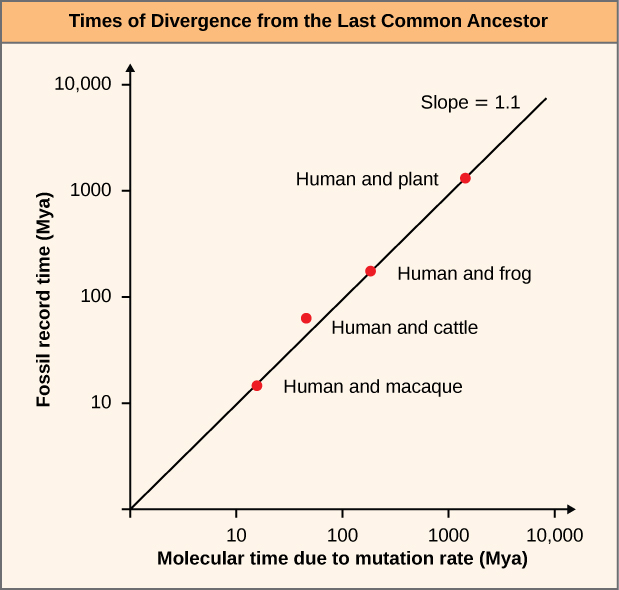 This line graph is labeled Times of Divergence from the Last Common Ancestor. The Y axis is labeled Fossil record time (Maya) and it goes by from 0, 10, 100, 1000, and 10,000. The X axis is labeled Molecular time due to mutation rate (Mya) and it goes up from 0, 10, 100, 1000, 10,000. The lines plotted on the chart are Human Macque, Human and cattle, Human and frog) and they climb upward. The slope of this chart is 1.1.