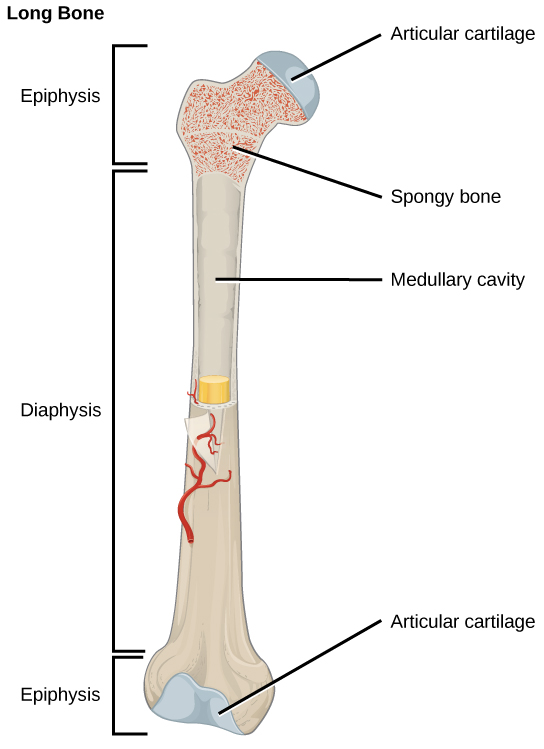 Illustration shows a long bone, which is wide at both ends and narrow in the middle. The narrow middle is called the diaphysis and the long ends are called the epiphyses. The epiphyses are filled with spongy bone perforated with holes, and the ends are made up of articular cartilage. A hollow opening in the middle of the diaphysis is called the medullary cavity.