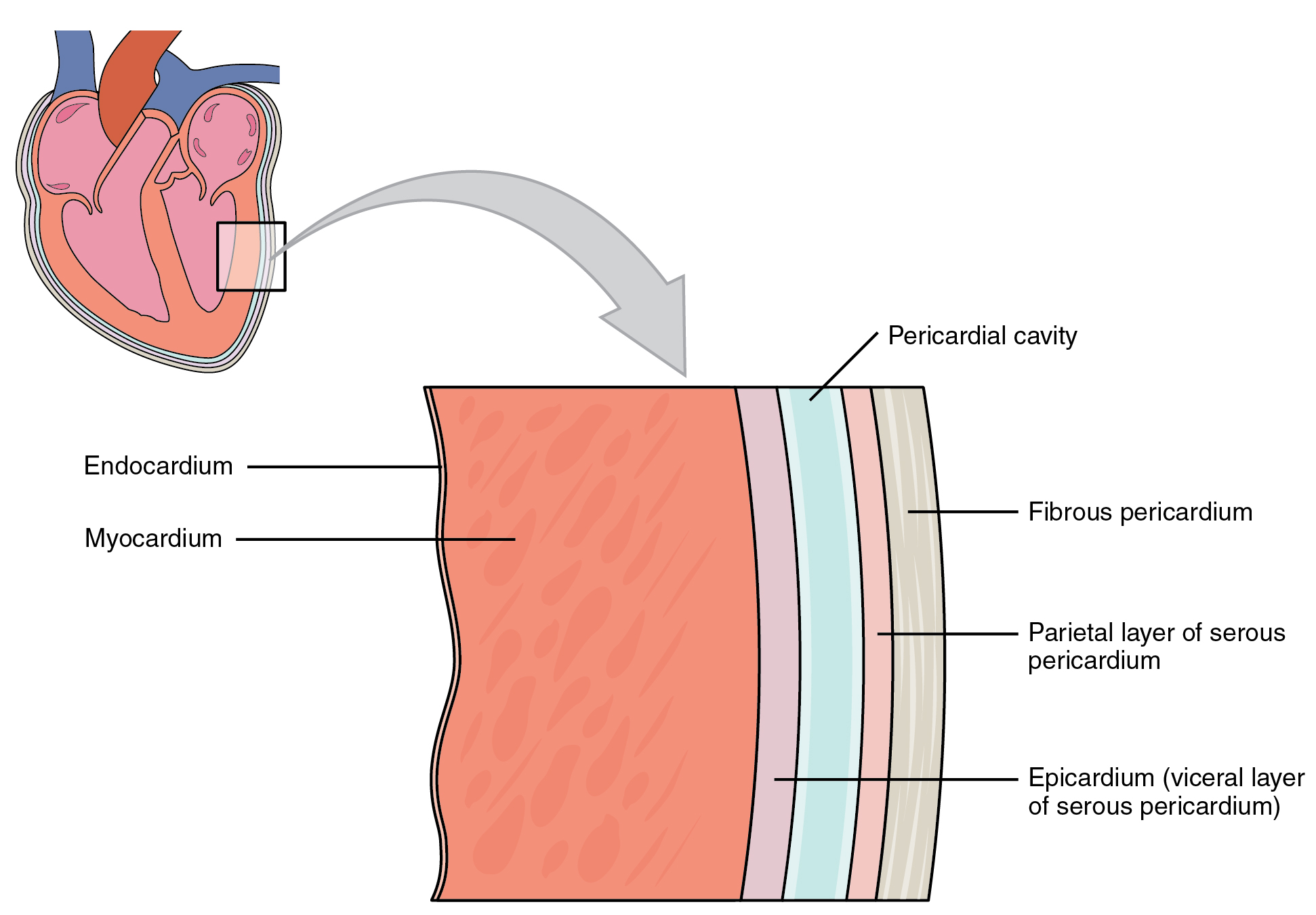 This image shows a magnified view of the structure of the heart wall.