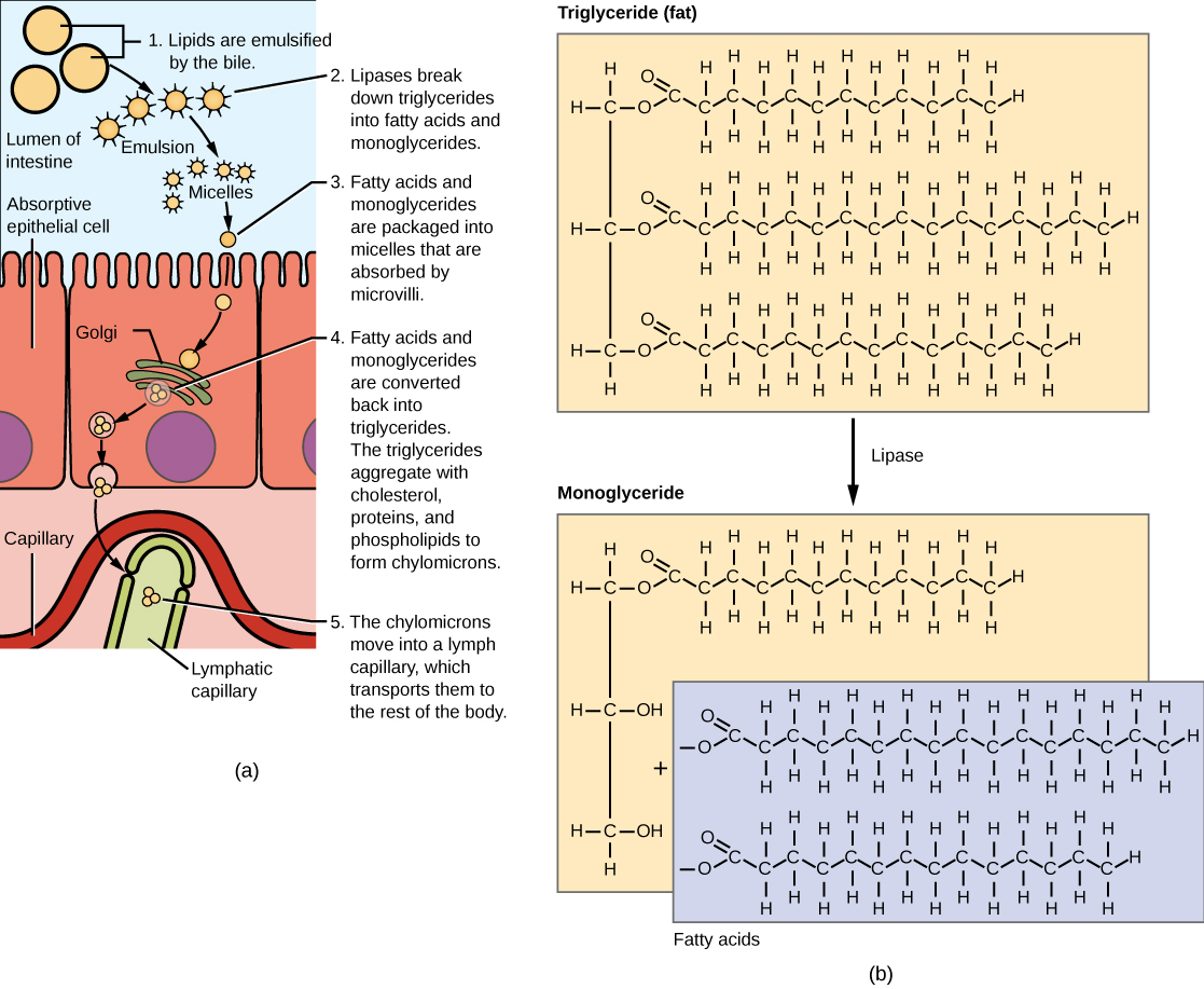 Illustration shows a row of absorptive epithelial cells that line the intestinal lumen. Hair-like microvilli project into the lumen. On the other side of the epithelial cells are capillaries and lymphatic vessels. In the intestinal lumen, lipids are emulsified by the bile. Lipases break down fats, also known as triglycerides, into fatty acids and monoglycerides. Fats are made up of three fatty acids attached to a 3-carbon glycerol backbone. In monoglycerides, two of the fatty acids are removed. The emulsified lipids form small, spherical particles called micelles that are absorbed by the epithelial cells. Inside the epithelial cells the fatty acids and monoglyerides are reassembled into triglycerides. The triglycerides aggregate with cholesterol, proteins, and phospholipids to form spherical chylomicrons. The chylomicrons are moved into a lymph capillary, which transports them to the rest of the body.