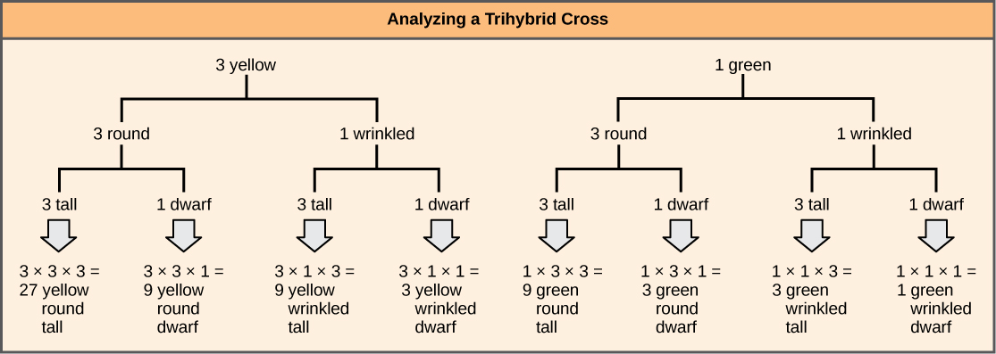 The forked-line method can be used to analyze a trihybrid cross