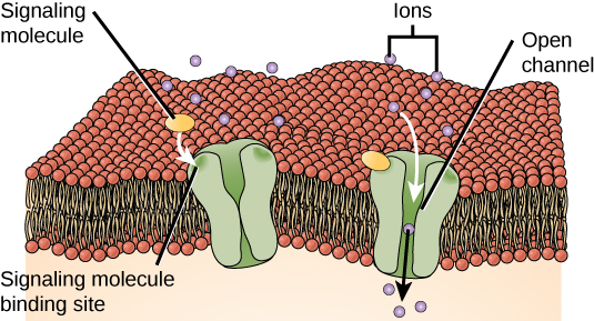 This illustration shows a gated ion channel that is closed in the absence of a signaling molecule. When a signaling molecule binds, a pore in the middle of the channel opens, allowing ions to enter the cell.