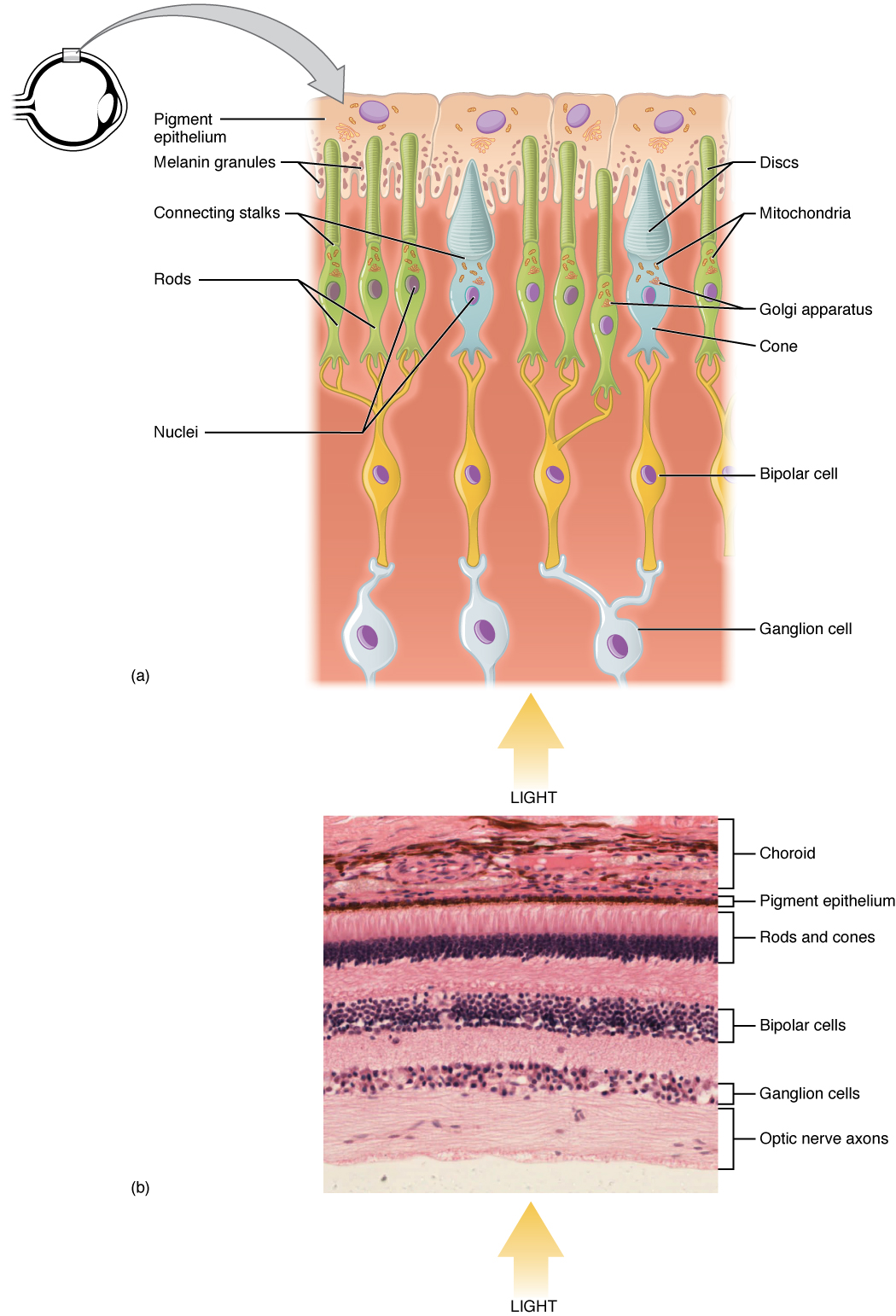 Special Senses – Anatomy of the Eye | OER Commons