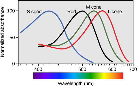 Graph plots normalized absorbance for rods and S, M and L cones against wavelength. For all four cell types, the trend is an approximately bell-shaped curve with a steeper decrease than increase. For S cones the peak absorbance is 420 nanometers. For rods the peak absorbance is 498 nanometers. For M cones the peak absorbance is 534 nanometers. For L cones the peak absorbance is 564 nanometers.