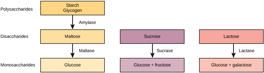 Pathways for the breakdown of starch and glycogen, sucrose, and lactose are shown. Starch and glycogen, which are both polysaccharides, are broken down into the disaccharide maltose. Maltose is then broken down into the monosaccharaide glucose. Sucrose, a disaccharide, is broken down by sucrose into the monosaccharides glucose and fructose. Lactose, also a disaccharide, is broken down by lactase into glucose and galactose.