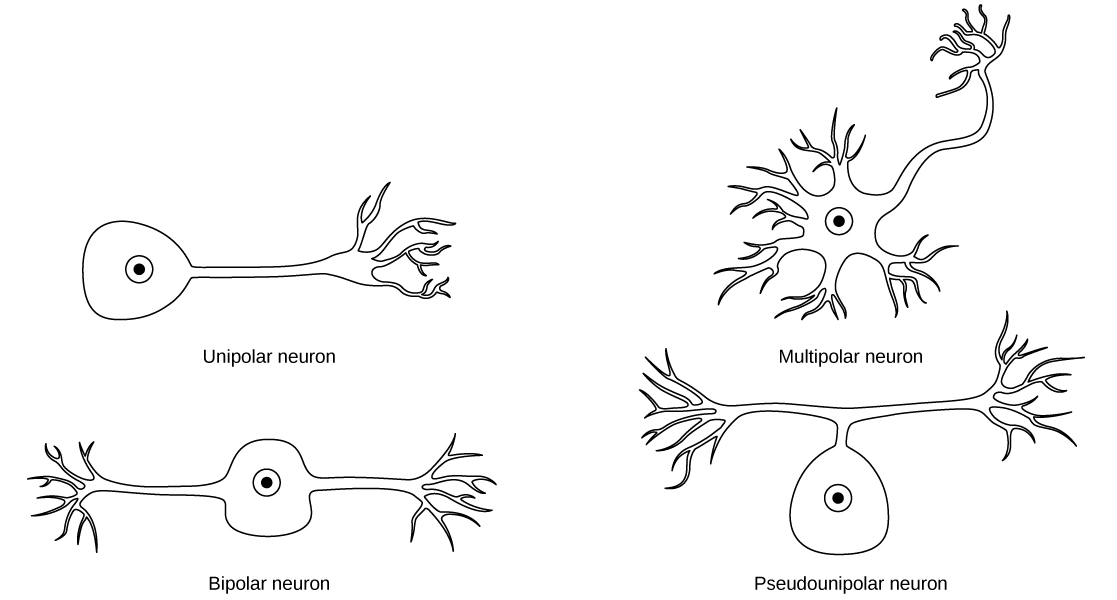the cell body of a neuron collects information from which structure