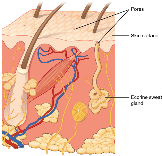 accessory structures of the skin, Cephalic Vein