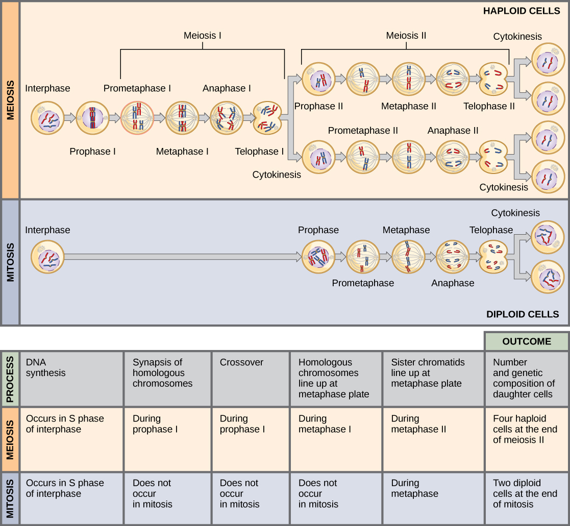Worksheets Comparing Mitosis And Meiosis human biology chapter 13 4 meiosis and genetic variation this illustration compares mitosis in there are two rounds of cell