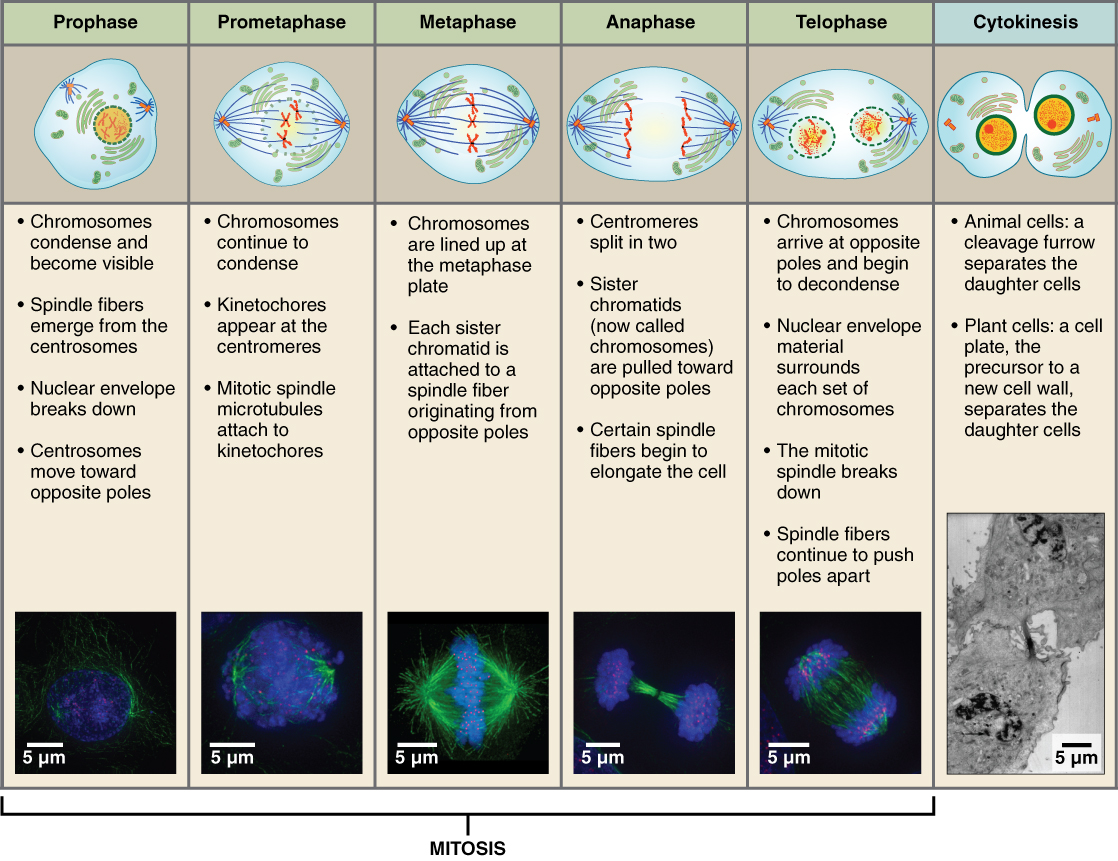 This tabular image shows the different stages of mitosis and cytokinesis using both drawings and text. The top panel is a series of schematics for each step, followed by text listing the important aspects of that step. The bottom panel shows fluorescent micrographs for the corresponding stage.