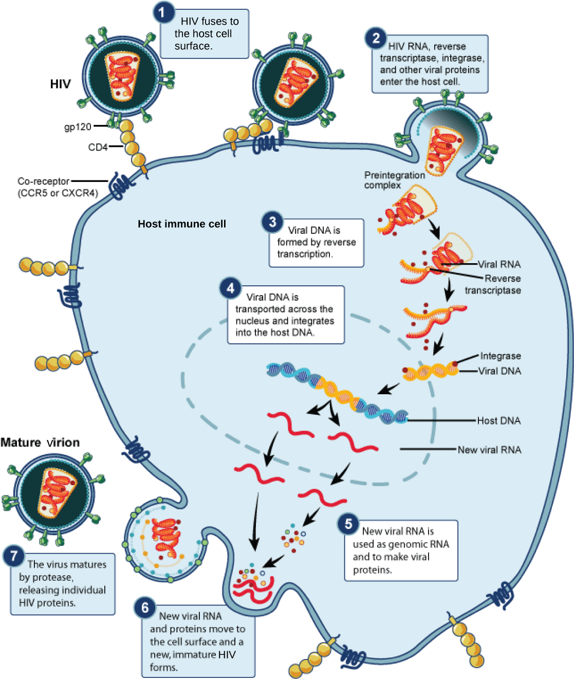 HIV, an enveloped, icosahedral virus, attaches to the CD4 receptor of an immune cell and fuses with the cell membrane. Viral contents are released into the cell, where viral enzymes convert the single-stranded RNA genome into DNA and incorporate it into the host genome