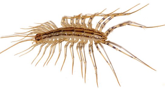 Millipede With Long Legs with many  very long legs