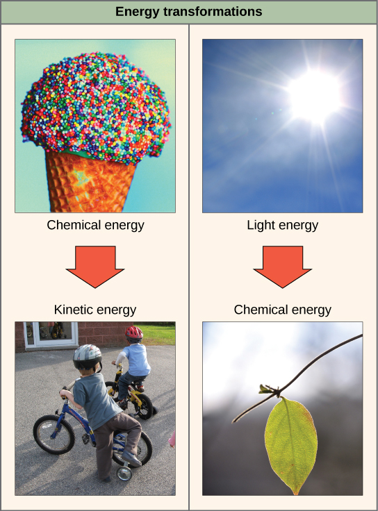 The left side of this diagram depicts energy being transferred from an ice cream cone to two boys riding a bike. The right side depicts a plant converting light energy into chemical energy.
