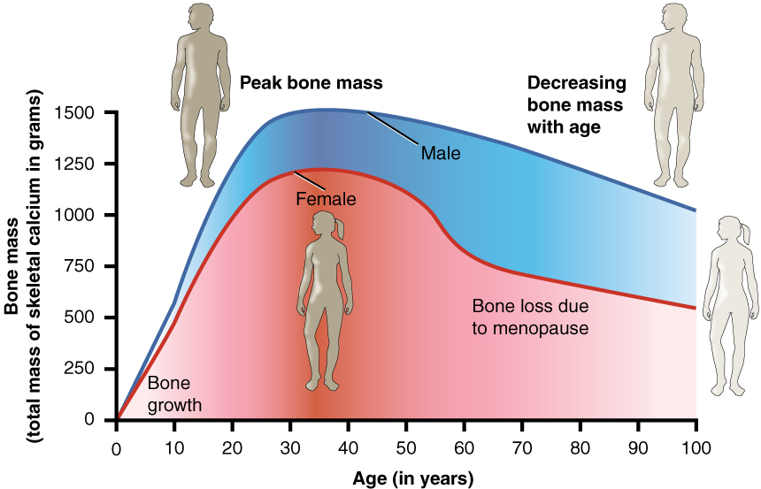 This graph shows bone mass (total mass of skeletal calcium in grams ...