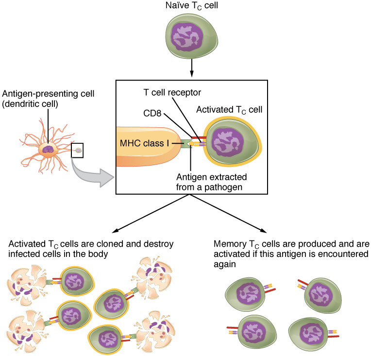 The Adaptive Immune Response: T lymphocytes and Their Functional ...