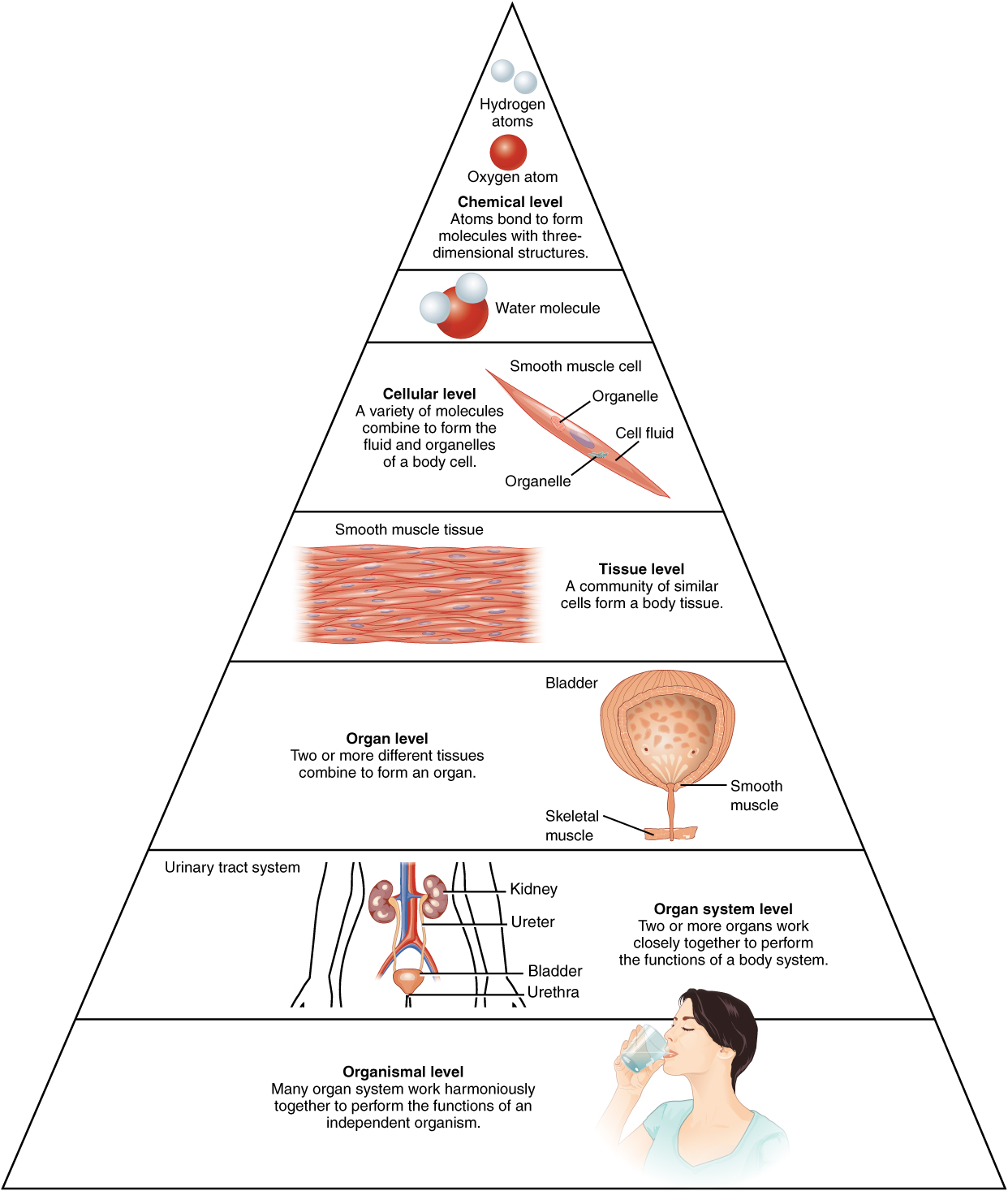 12 structural organization of the human body sanzin anatomy honors this illustration shows biological organization as a pyramid the chemical level is at the apex ccuart Images