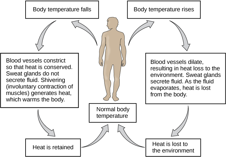 Flow chart shows how normal body temperature is maintained. If the body temperature rises, blood vessels dilate, resulting in loss of heat to the environment. Sweat glands secrete fluid. As this fluid evaporates, heat is lost form the body. As a result, the body temperature falls to normal body temperature. If body temperature falls, blood vessels constrict so that heat is conserved. Sweat glands do not secrete fluid. Shivering (involuntary contraction of muscles) releases heat which warms the body. Heat is retained, and body temperature increases to normal.