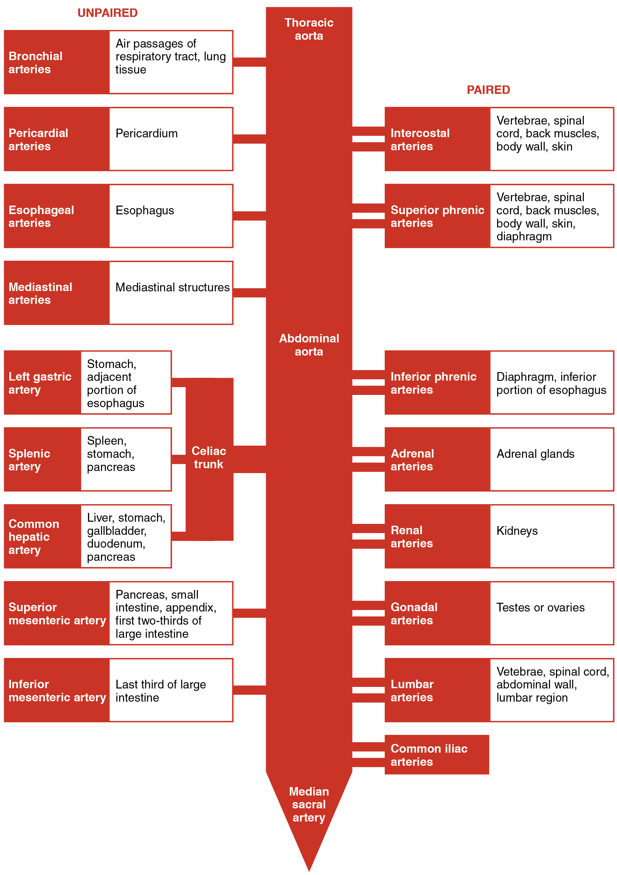 Circulatory pathways this table shows the different arteries in the thoracic and abdominal cavity the list on pooptronica Image collections