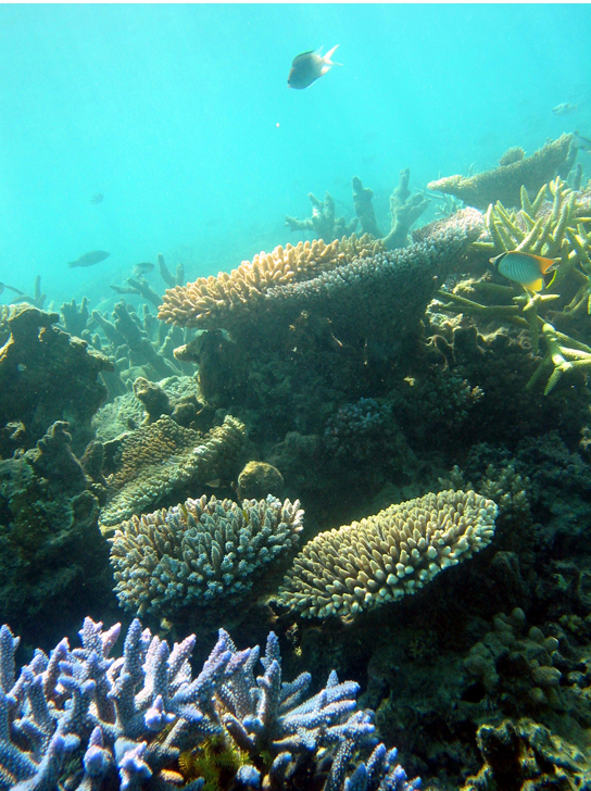 In this photo, several fish are swimming among coral. The coral at the front of the photo is blue with branched arms. Further back are anvil-shaped corals.