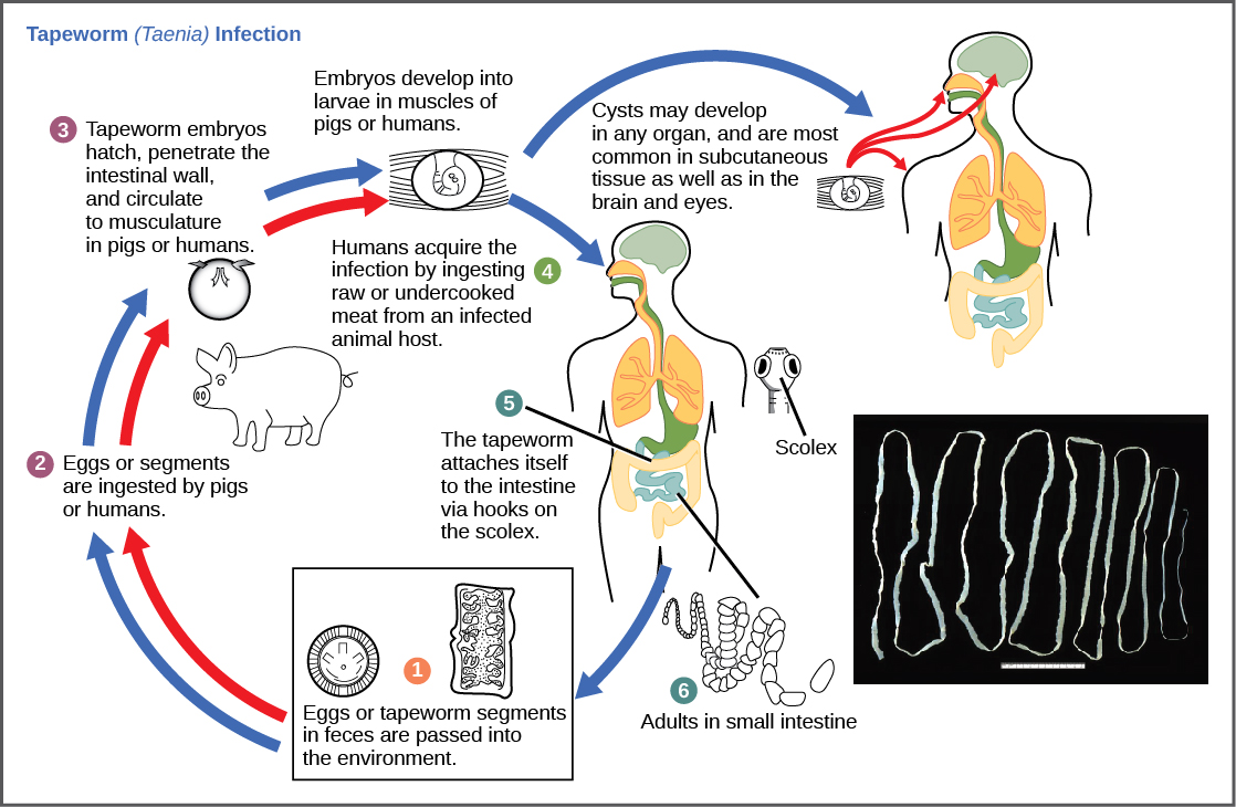 his diagram shows the life cycle of a pork tapeworm (Taenia solium), a human worm parasite.