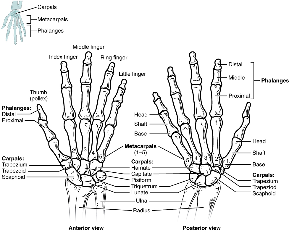 bones of the upper limb, Human body